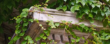 Ivy wraps around a column on campus.